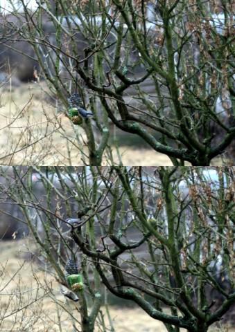 23mars fåglar i gullregnet