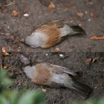23mars kraschad köksfönsterfågel